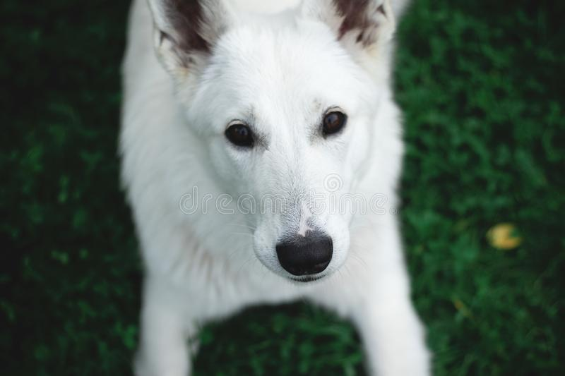 Photography of a White Dog royalty free stock photography