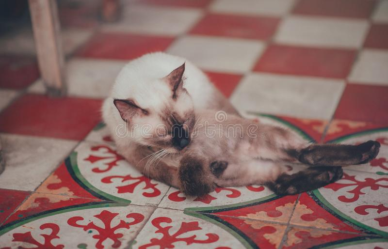 Photography of White Siamese Cat Lying on Floor stock photo