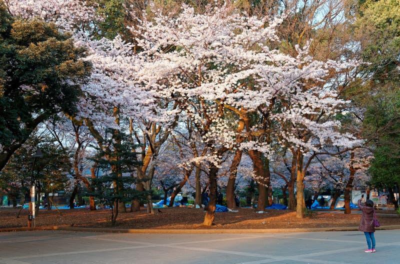 Photos de prise de touristes de beaux arbres de Sakura de fleurs de cerisier en parc d'Ueno, Tokyo images libres de droits