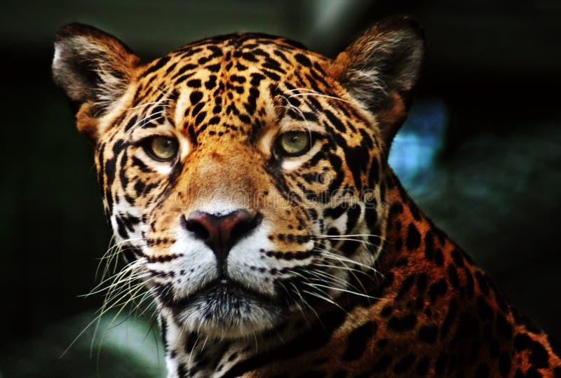 photos de profil de jaguar images stock