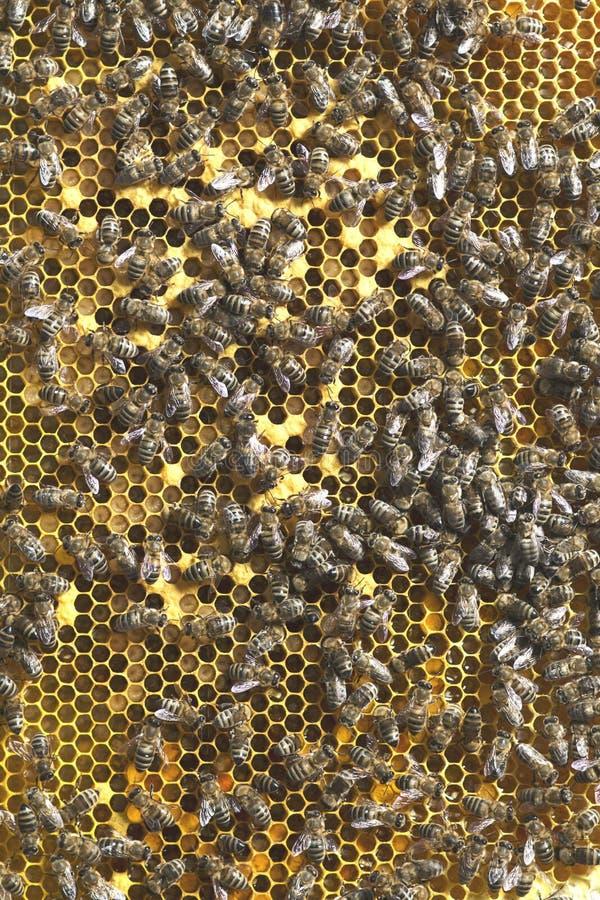 Photos des abeilles sur des sites avec les larves et le miel qu'ils se sont préparé à l'hiver photo libre de droits