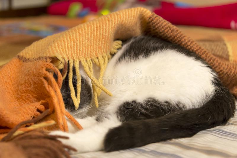 Photos of cat wich hid under the blanket. Photos of funny cat wich hid under the blanket stock photos