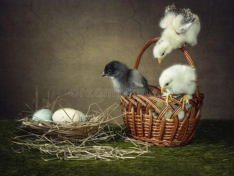 Three beautiful young chick figuring out the relationship. Photos of funny chickens with beautiful wings are like an Easter card stock images