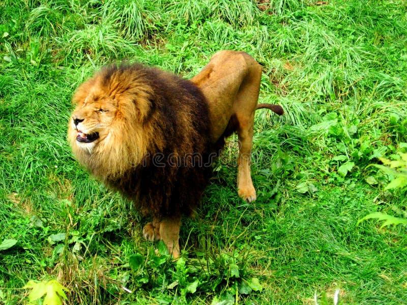 Photos masculines de hurler-actions de lion images stock