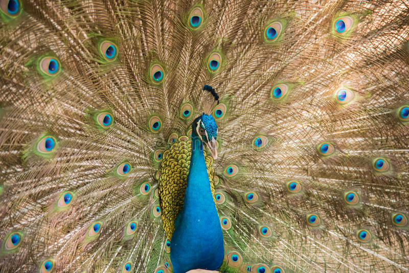 Photos of peacocks showing beautiful feathers. Image of peacocks showing beautiful feathers. wildlife royalty free stock images