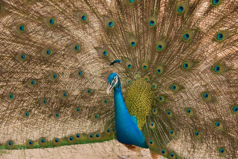 Photos of peacocks showing beautiful feathers. stock photos