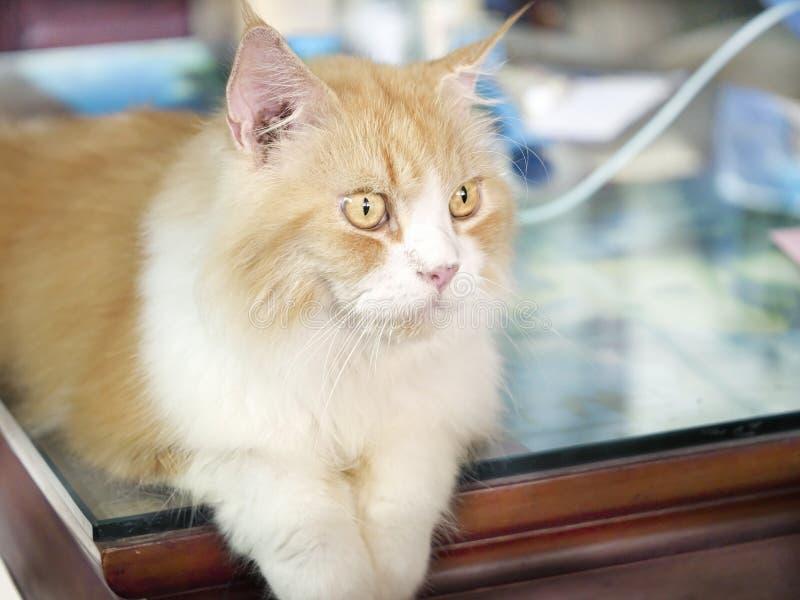 Photos proches d'un chat hybride brun thai percian photos stock