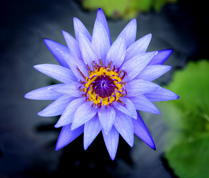 Photos purple water lilies. Photos bright purple water lilies in a pond stock photography