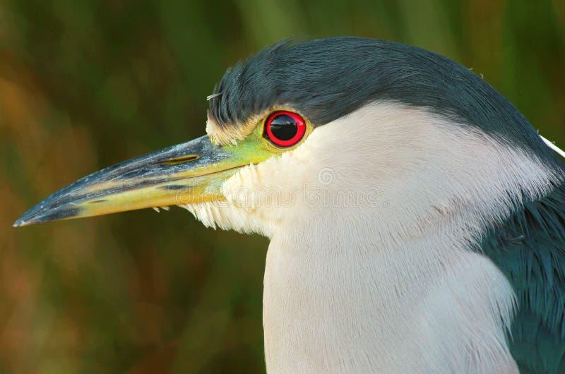 Heron. Photos taken in San Diego using Pentax stock photography