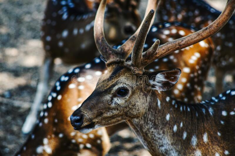 Photos of wild deer animals that are looking at something stock images