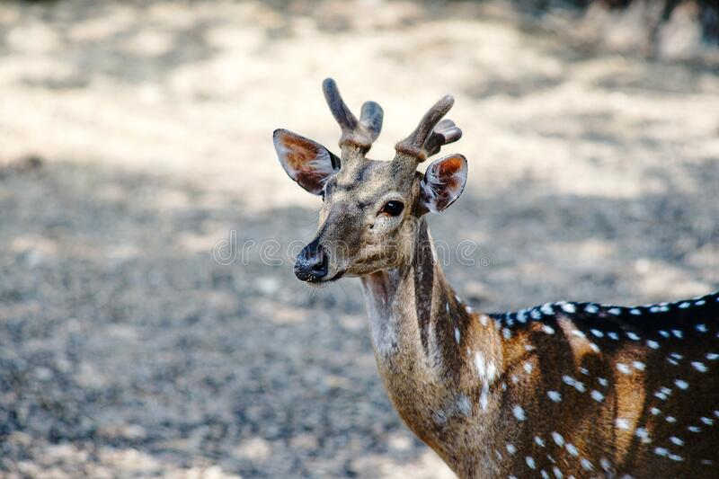 Photos of wild deer animals that are looking at something royalty free stock images