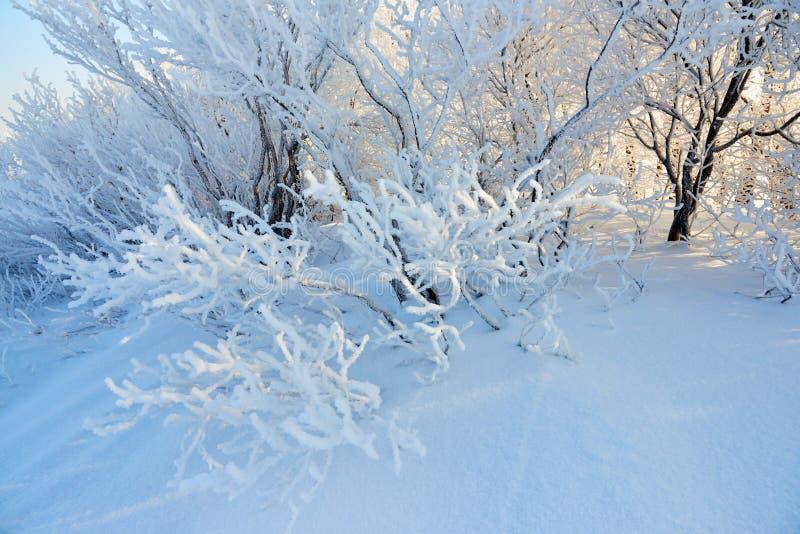 Photoshot des branches de buisson, couvert de gelée pelucheuse photographie stock libre de droits