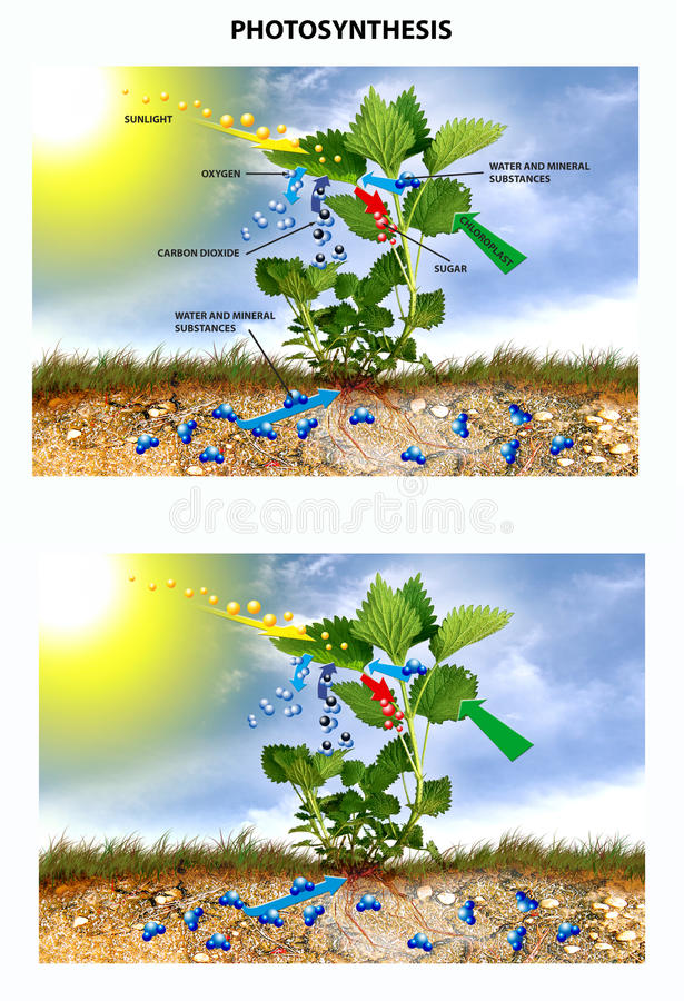 Photosynthesis vektor illustrationer