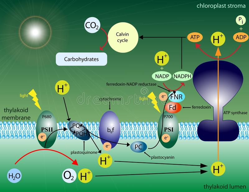 photosynthesis stock illustrationer