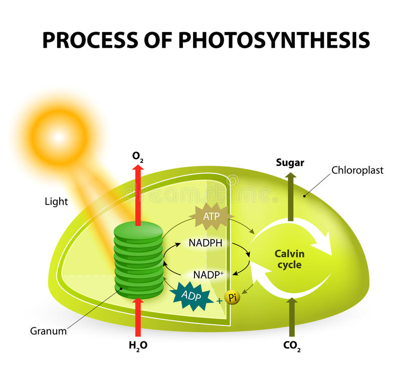 Photosynthesis. Diagram of the process of , showing the light reactions and the Calvin cycle.  by absorbing water, light from the sun, and carbon dioxide from vector illustration
