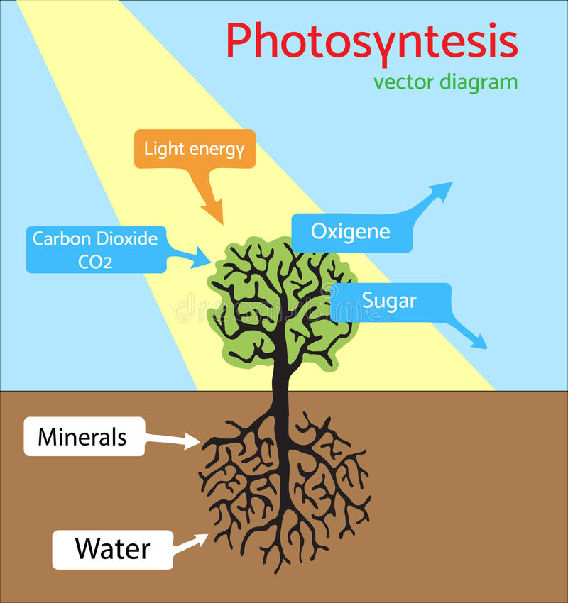 Photosynthesis Diagram Schematic Vector Illustration Of The