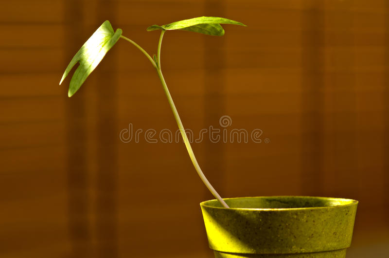 Phototropism. Plant growing towards sunlight. stock images