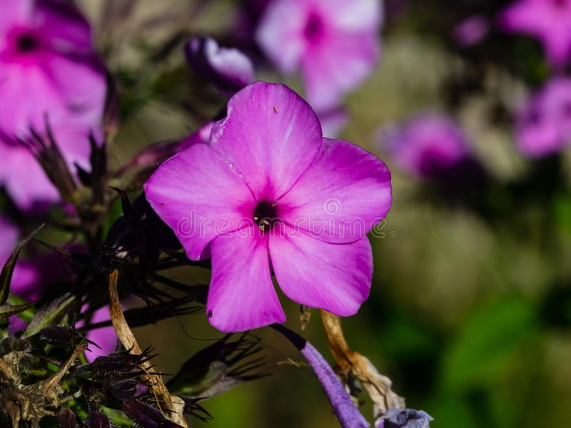 Phox do jardim do rosa flores ou do drummondii anual do flox no close-up do canteiro de flores, foco seletivo, DOF raso imagens de stock royalty free
