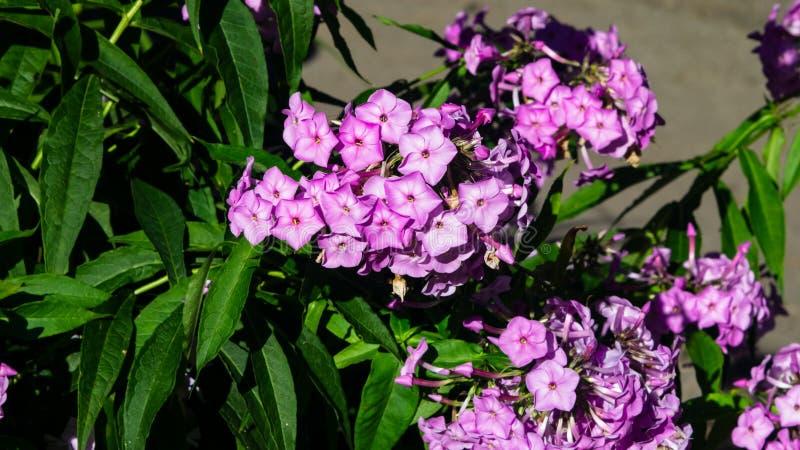 Phox do jardim do rosa flores ou do drummondii anual do flox no close-up do canteiro de flores, foco seletivo, DOF raso foto de stock royalty free