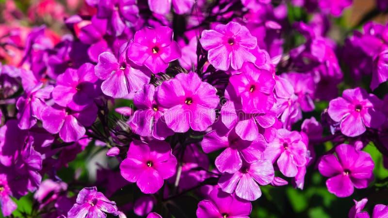 Phox do jardim do rosa flores ou do drummondii anual do flox no close-up do canteiro de flores, foco seletivo, DOF raso fotografia de stock royalty free