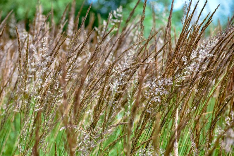 Phragmites australis Common Reed. Nature grass background. France royalty free stock images