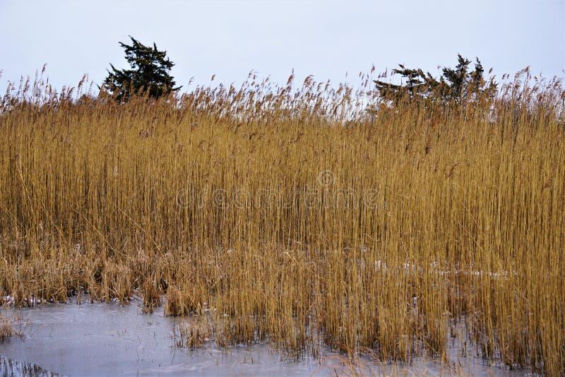 Phragmites australis dans le marais de sel congelé image stock