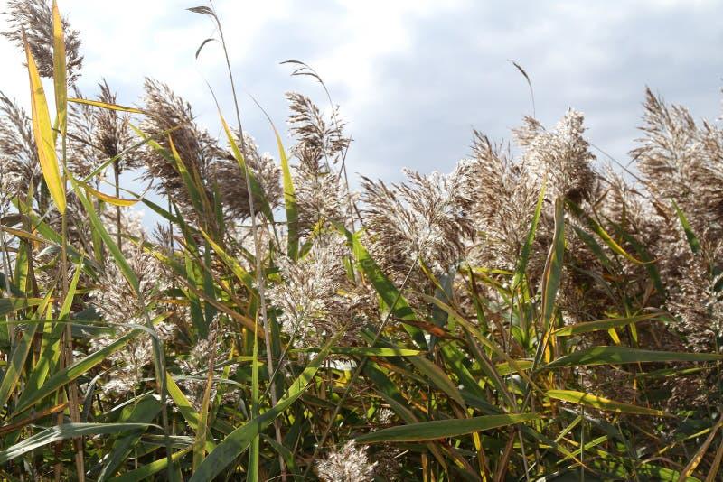 Phragmites australis a perennial wetland royalty free stock photos