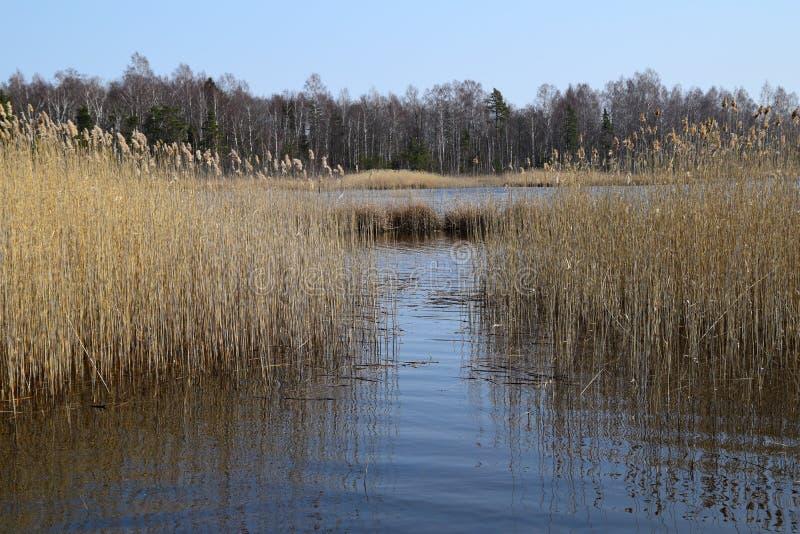 Phragmites dans les marécages une journée de printemps tôt image stock