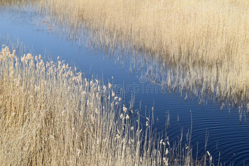 Phragmites perennial grasses in wetlands. stock photos