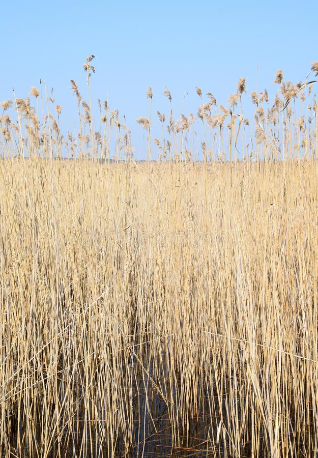 Phragmites perennial grasses in wetlands. stock photography