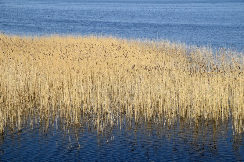 Phragmites perennial grasses in wetlands. stock images