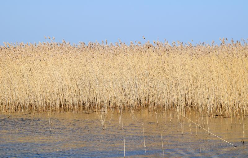 Phragmites perennial grasses in wetlands. royalty free stock images