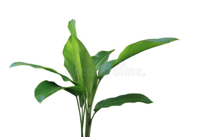 Phrynium roślina fotografia stock