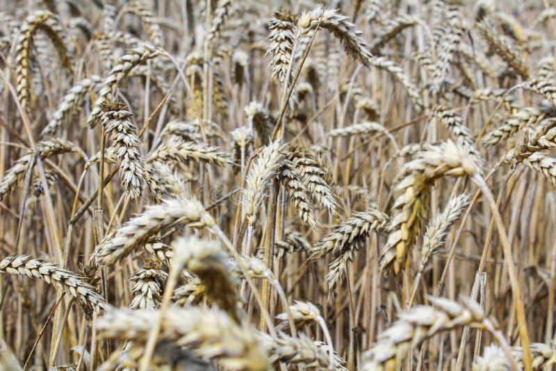 Phto пшеничного поля близкое поднимающее вверх к уху мозоли стоковые фото