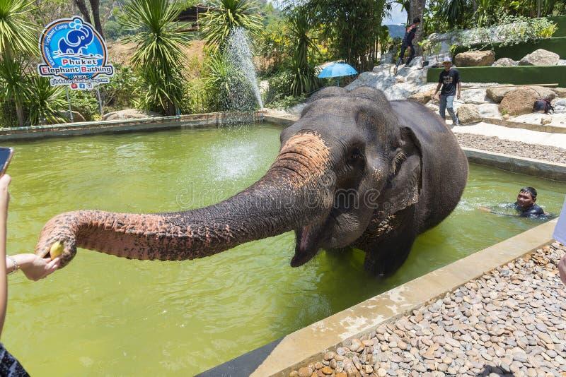Phuket, Thailand - 04/19/2019 - Elefant, der Lager in Phuket mit sicherndem Elefanten im Badenpool eingezogen wird von den Touris lizenzfreies stockfoto