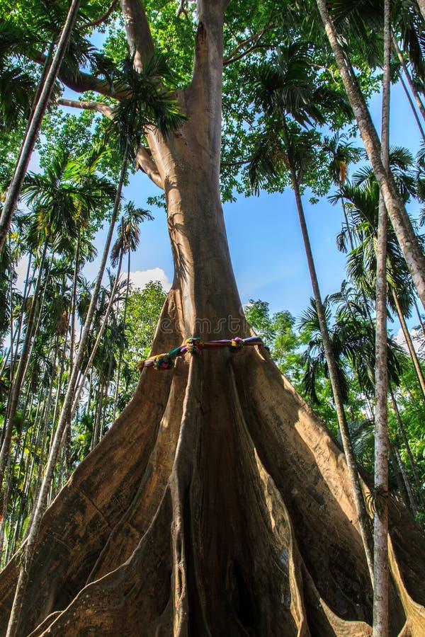 Phung树 免版税库存图片