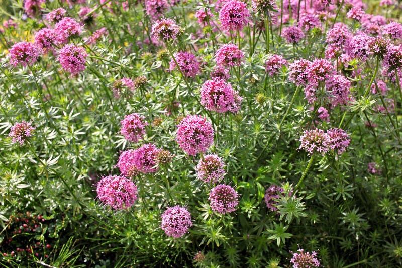 Phuopsis stylosa, the Caucasian crosswort or large-styled crosswort plant royalty free stock photo