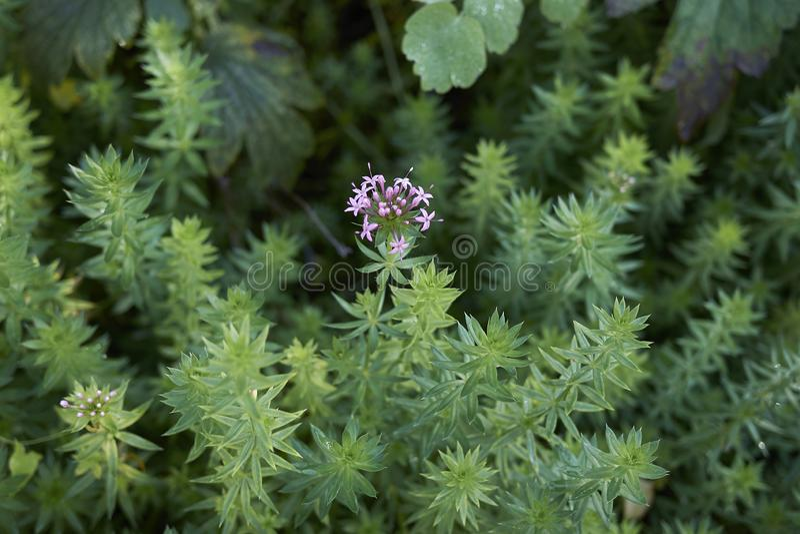 Phuopsis stylosa close up stock image