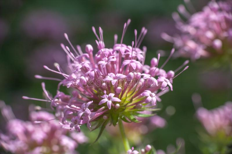 Phuopsis stylosa pink flower, selective focus royalty free stock photos