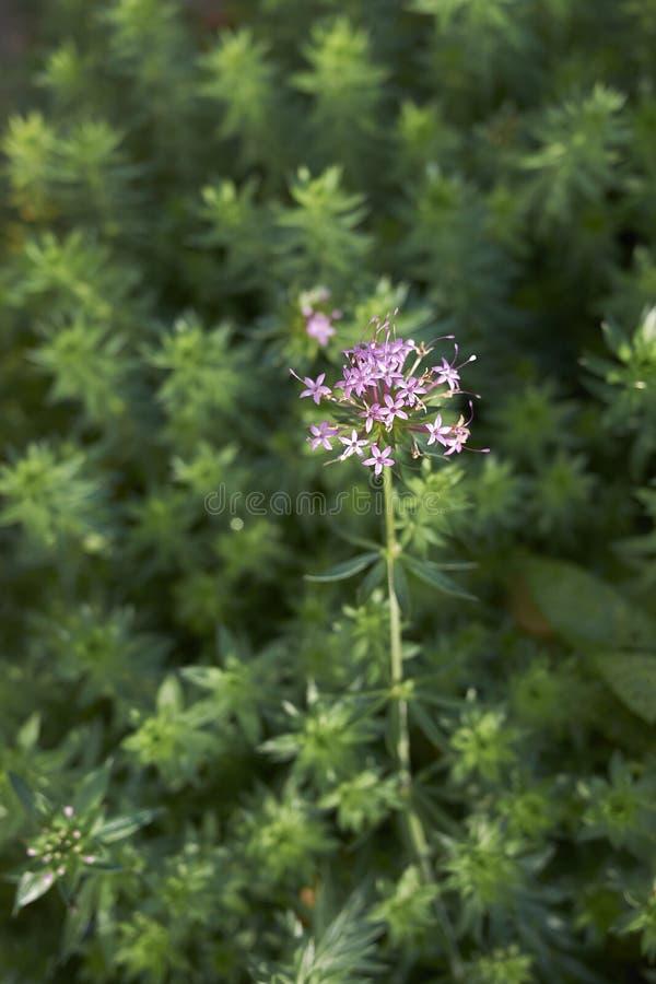 Phuopsis stylosa zamknięty w górę fotografia royalty free