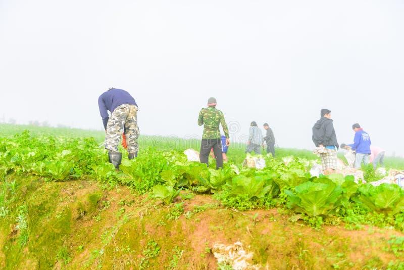 PHUTHAPBOEK PHETCHABUN ТАИЛАНД - 9-ОЕ ОКТЯБРЯ: работа фермера в поле капусты стоковые изображения