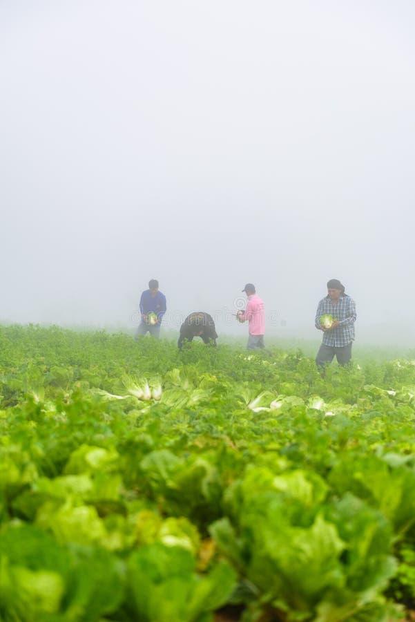 PHUTHAPBOEK PHETCHABUN ТАИЛАНД - 9-ОЕ ОКТЯБРЯ: работа фермера в поле капусты стоковая фотография rf