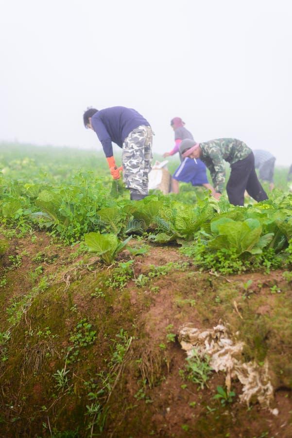 PHUTHAPBOEK PHETCHABUN ТАИЛАНД - 9-ОЕ ОКТЯБРЯ: работа фермера в стоковые изображения