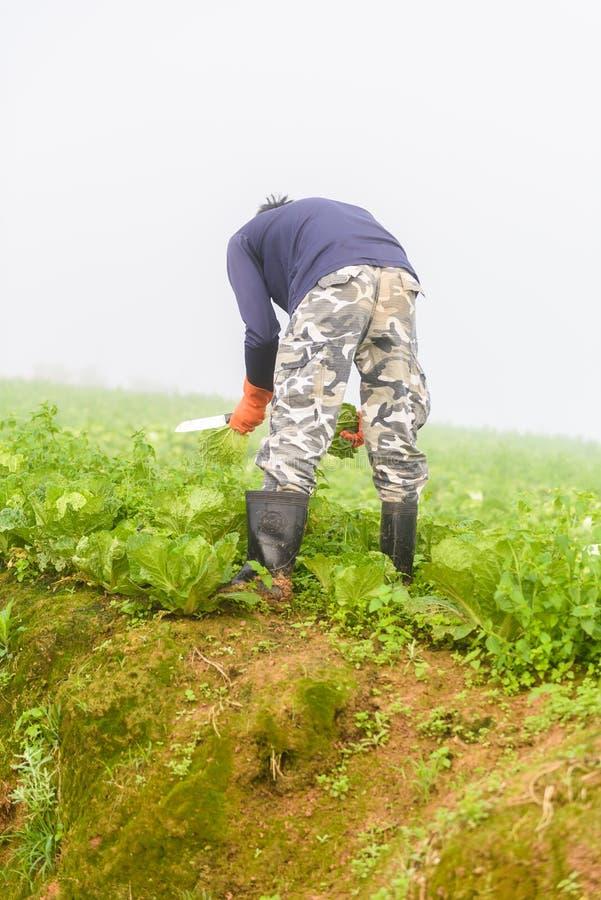 PHUTHAPBOEK PHETCHABUN ТАИЛАНД - 9-ОЕ ОКТЯБРЯ: работа фермера в стоковое изображение