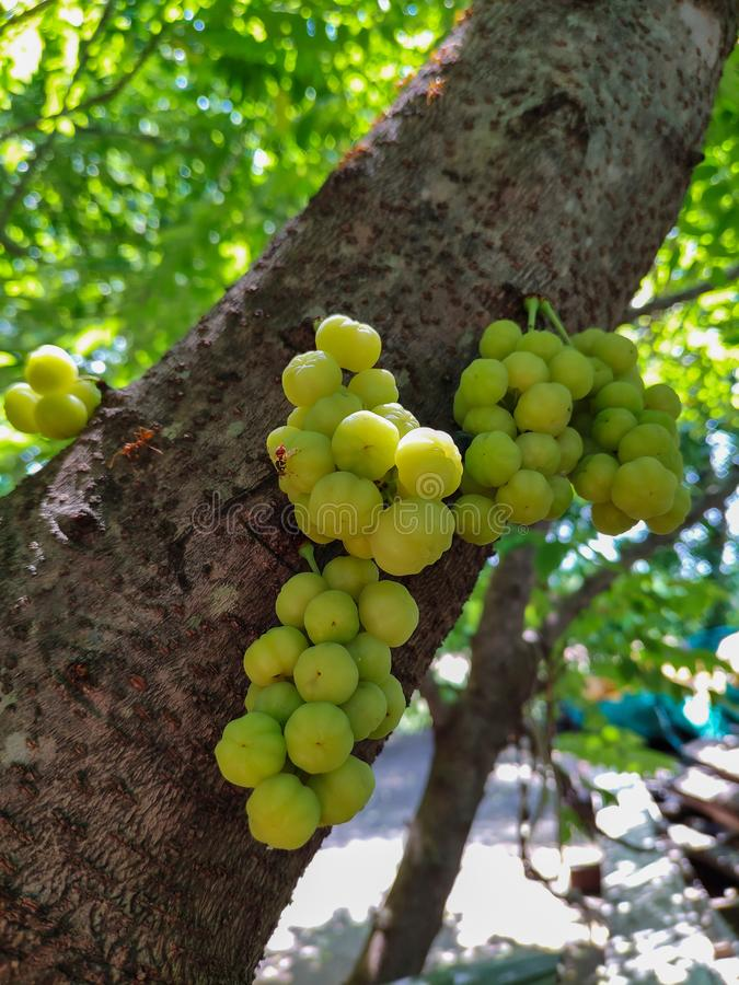 Phyllanthus acidus, Star gooseberry, yellow fruit  Fresh and sour taste from gooseberry trees royalty free stock photography