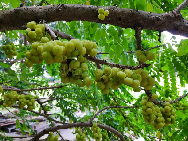 Phyllanthus acidus, Star gooseberry, yellow fruit  Fresh and sour taste from gooseberry trees stock image