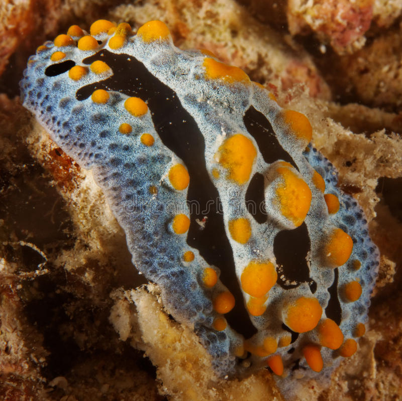 Phyllidia coelestis - Nudibranch royalty free stock images