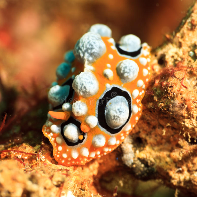 Download Phyllidia Ocellata Nudibranch Stock Image - Image: 27760777