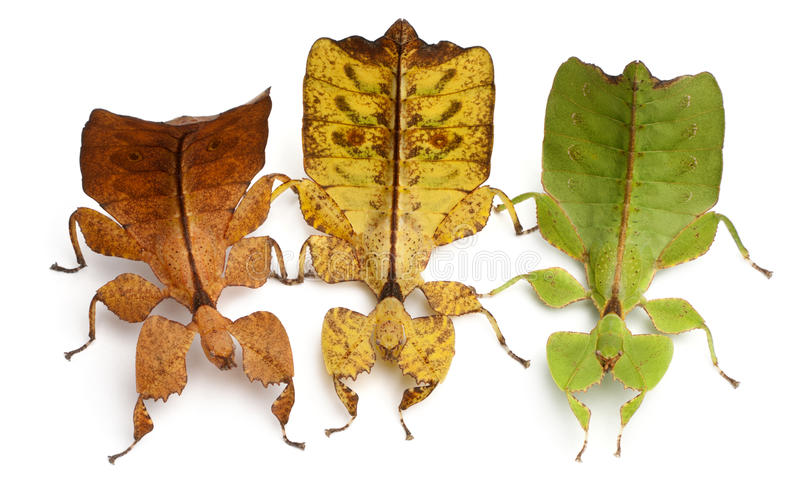 Download Phyllium Westwoodii, Three Stick Insects Stock Photo - Image: 18257680