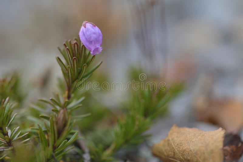 Phyllodoce caerulea fotografia royalty free